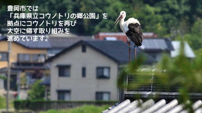 豊岡市では 「兵庫県立コウノトリの郷公園」を 拠点にコウノトリを再び 大空に帰す取り組みを 進めています。